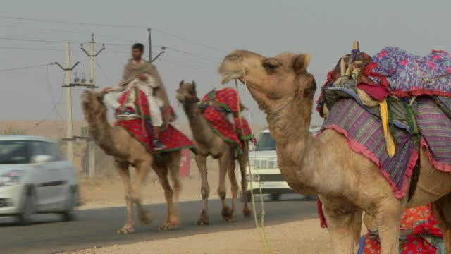 Camels walking alongside cars