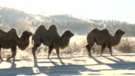 camels walking in a winter steppe