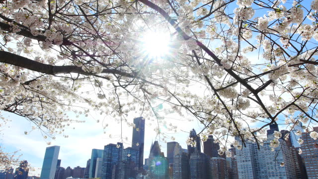 TU Camera captures cherry blossoms and Manhattan skyscrapers from promenade beside East River at Roosevelt Island.People walk down under the row of cherry blossoms trees.
