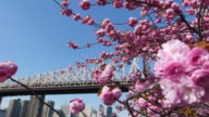 PAN Camera captures cherry blossoms and Queensboro Bridge in front of Manhattan from promenade beside East River at Roosevelt Island.Roosevelt Island Tramway can be seen under the bridge.