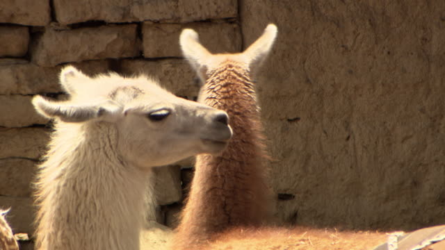 Camera moves to 3 different Llamas in large group, Bolivia