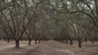 Camera pans slowly through vast almond grove, California central valley