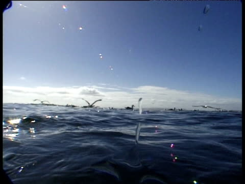 Camera surfaces and is dive bombed by black browed albatross