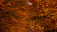Camera tilts down from canopy of Fall colored leaves to reveal Vermont dirt country road that is covered with leaves.