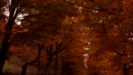 POV camera tilts down from canopy of Vermont Fall-colored leaves to reveal dirt country road.