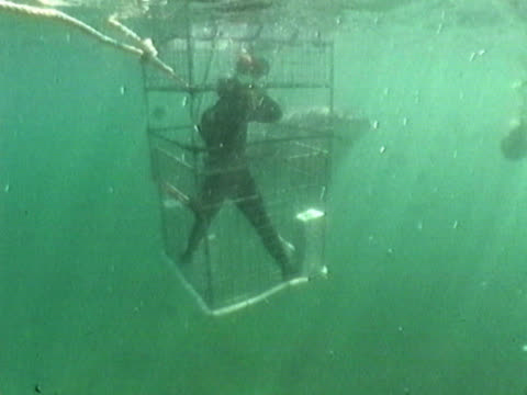 A cameraman in a shark cage. A Great White (Carcharodon carcharias) swims up to the bars, then backs off. Shot off the coast of Gansbaai, South Africa.