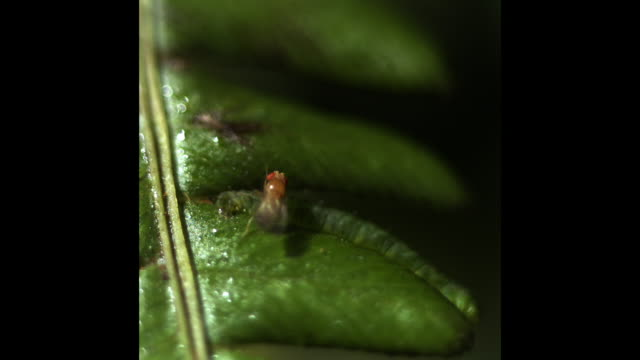A camouflaged green caterpillar catches a fruit fly on a green leaf. Available in HD.