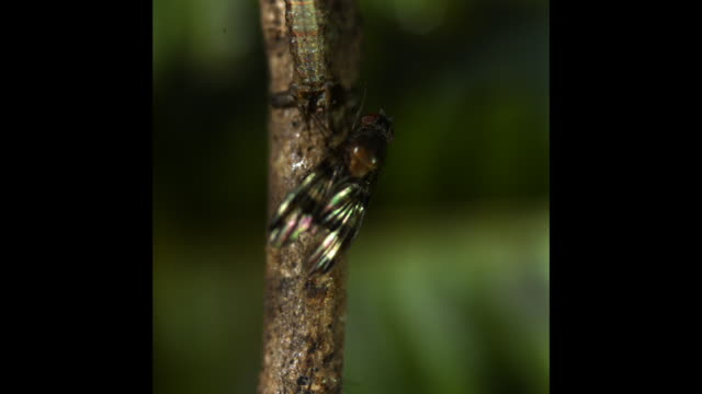 A camouflaged moth caterpillar catches a fruit fly. Available in HD.