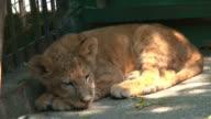 camper little lion