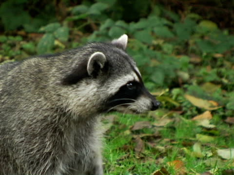 CU, Canada, British Columbia, Vancouver, Stanley Park, Raccoon eating on grass
