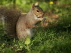 CU, Canada, British Columbia, Vancouver, Stanley Park, Squirrel eating almond on grass