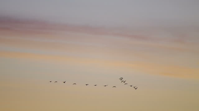 Canada geese in formation against sunrise sky