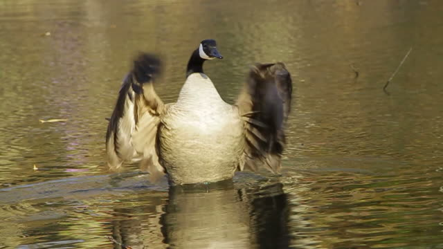 Canada Goose spreading wings
