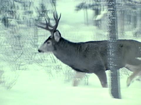 Canadian Buck deer walking through snow behind trees