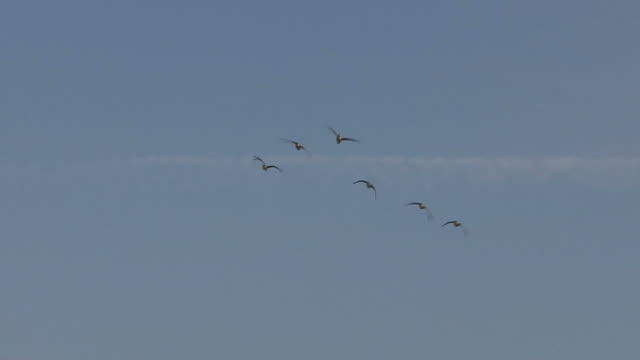 Canadian geese in fly formation