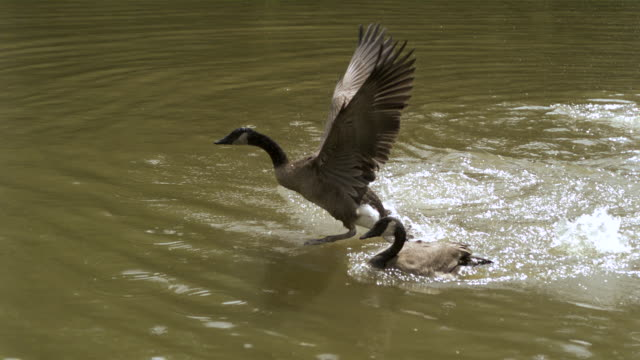 WS SLO MO Canadian geese landing in water  / Prairie du Chien, Wisconsin, USA