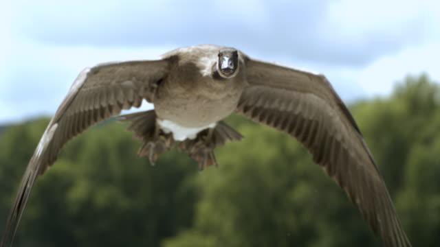 TS CU SLO MO Canadian goose flying / Prairie du Chien, Wisconsin, USA