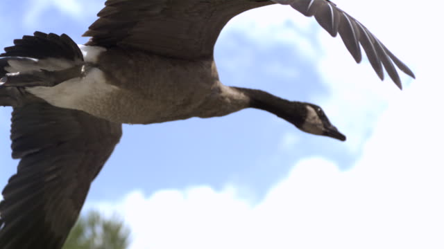 TS WS SLO MO Canadian goose flying / Prairie du Chien, Wisconsin, USA