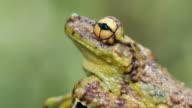 Canelos Treefrog (Ecnomiohyla tuberculosa) a very rare canopy dwelling tree frog from the western Amazon
