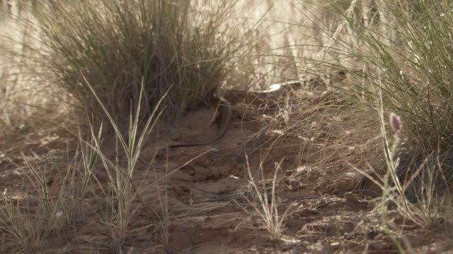 Cape cobra (Naja nivea) retreats in desert, South Africa
