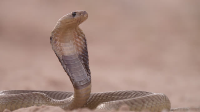 Cape cobra (Naja nivea) with spread hood in threat display, South Africa