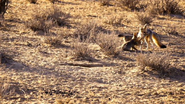 Cape Fox cubs playing in the Morning light. Slow Motion