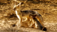 Cape Fox in the Kalahari