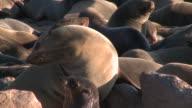 Cape fur seals (Arctocephalus pusillus), Cape Cross, Namibia