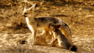 CapeFox feeding the cubs