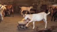 capre nella stalla