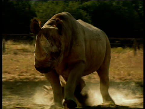 Captive black rhinoceros charges towards camera creating dust cloud