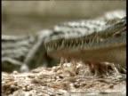 Captive crocodile feeding on small mound of fish Zimbabwe