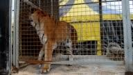 Captive  tiger.