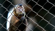 Capuchin Monkey in an animal reserve