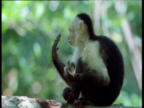 Capuchin monkey licks fingers and remaining scraps from clam shell, Trinidad