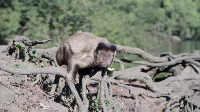 MS Capuchin Monkey on branch / Atlanta, United States