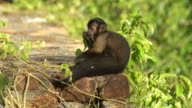 Capuchin monkey peeling fruit and eating