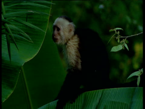 Capuchin monkey sitting on banana leaf looks around and walks away, Trinidad