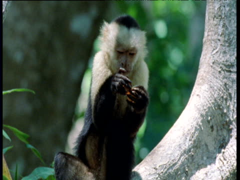Capuchin monkeys open clams and eat the contents, Trinidad