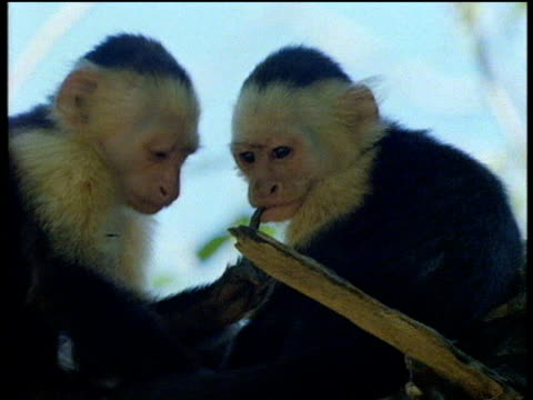 Capuchin monkeys sit in tree touching each other's faces