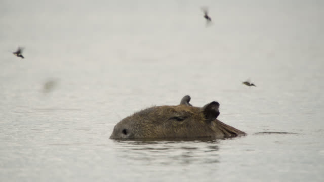 Capybara (Hydrochoerus hydrochaeris) surfaces from water and waggles ears as hawk moths (Aellopos species) fly around.