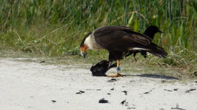 Caracara Rissen Federn auf einem toten Blackbird