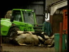 Carcasses of slaughtered cattle lifted by fork lift truck