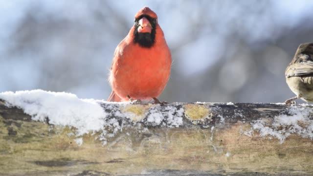 Cardinal and sparrows eating suet
