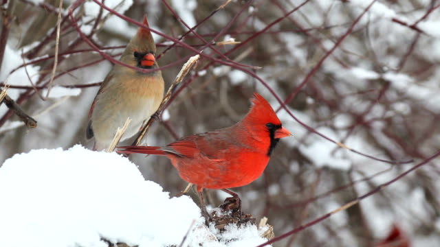 Cardinals perching on branch