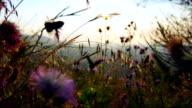 Carduus tenuiflorus and grass area wide angle shot