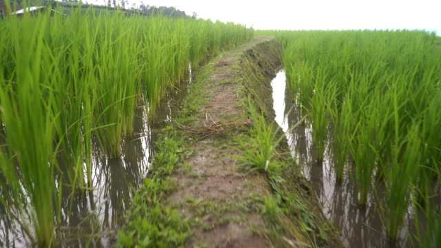 carefully walking on ridge in delighted rice terrace