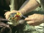 CU Caregivers swabbing bloody mouth of Anaconda snake / Africa