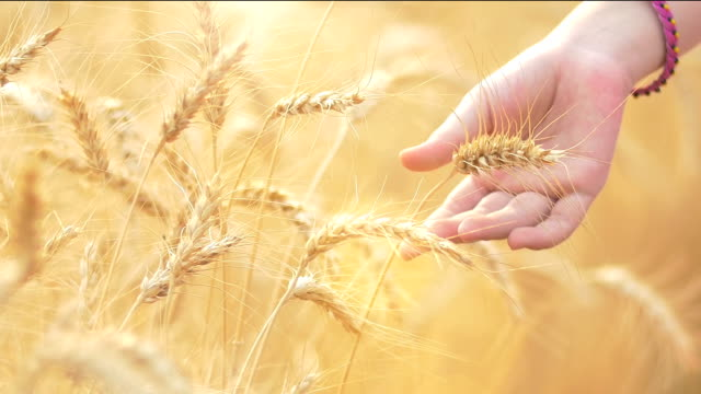 Caressing The Wheat