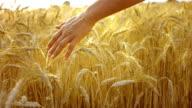 Caressing cultura de trigo